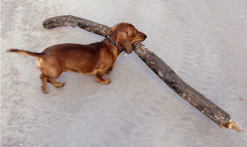 dog and stick