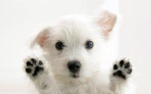 puppy-wallpaper